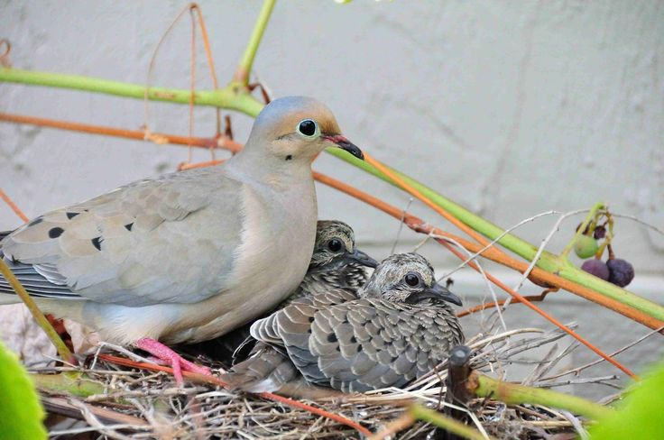 Mourning Dove Nest Pin by Lisa Taft on Sw...