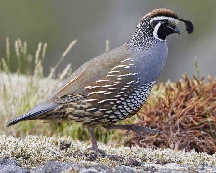 ... by Jan Irving on Birds - Odontophoridae (Quail/New World) | Pinte