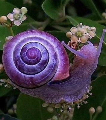 ❥ The Violet Snail is found in Queensland, New South Wales, Victoria, South Australia, Western Australia and eastern Tasmania!