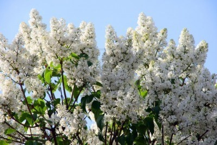 White Lilac Bush Also By An Entry Landscaping Pinterest
