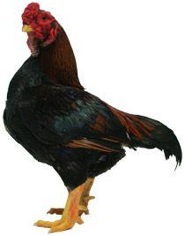 Yamato Gunkei Chicken