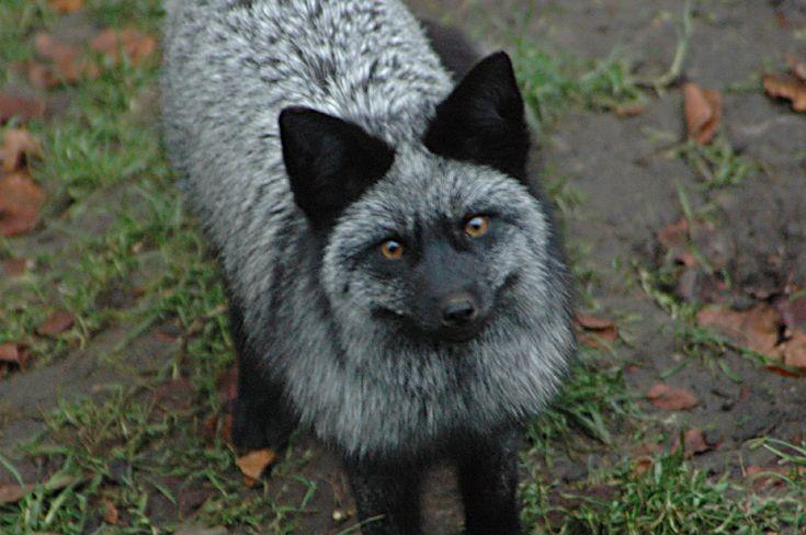Silver Fox pt. 6 by AkiFox.deviantart.com on @deviantART