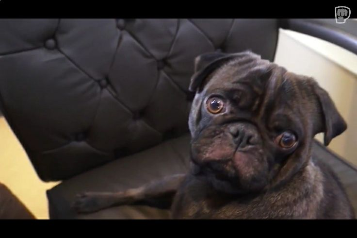 Edgar Allen Pug! | Adorable Animals | Pinterest Pug