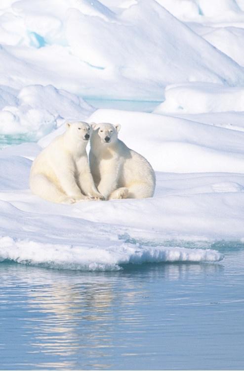 Polar bears - Antarctic   BLANCO TOTAL   Pinterest
