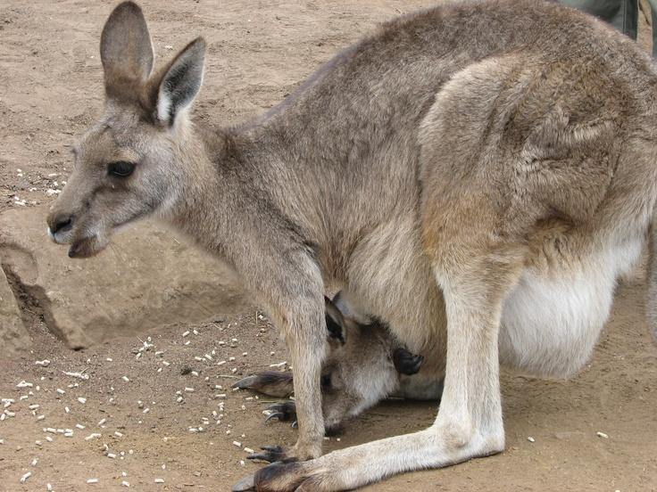 mama and baby kangaroo - photo #3