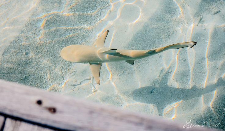 Baby black tip reef shark - photo#14