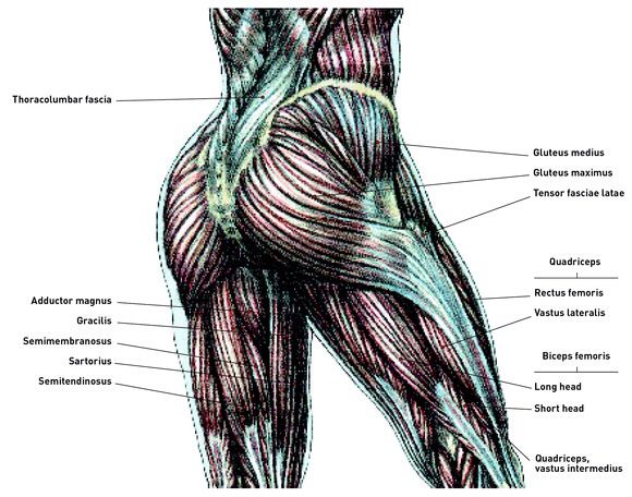 Anatomy of buttocks muscles