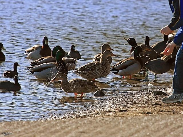Both girls Feeding the ducks man really