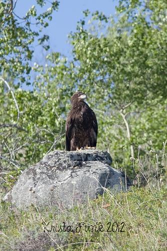 Golden Eagle on a Rock