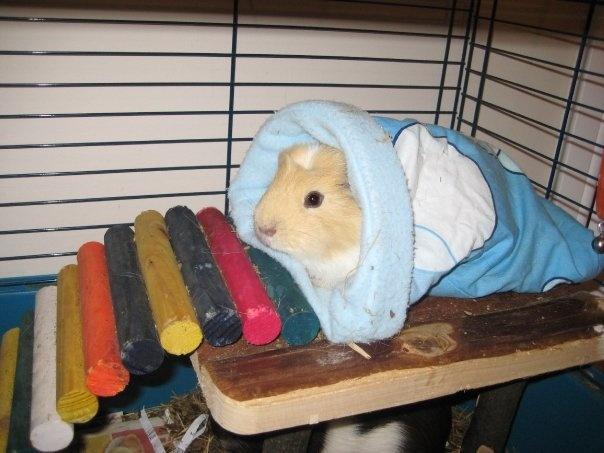 Guinea pig in sleeping bag | Cuteness | Pinterest