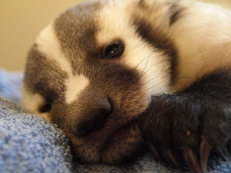 Baby Badger | BadgerBadger | Pinterest - 51.2KB