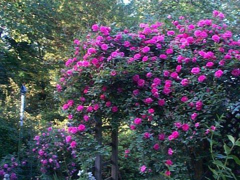 Zephirine DrouhinZephirine Drouhin Rose