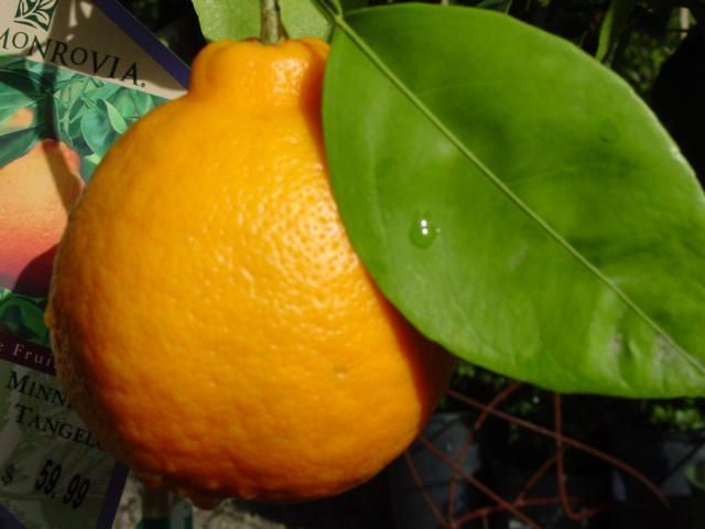 tangerine marmalade. | Confitures/Chutneys | Pinterest