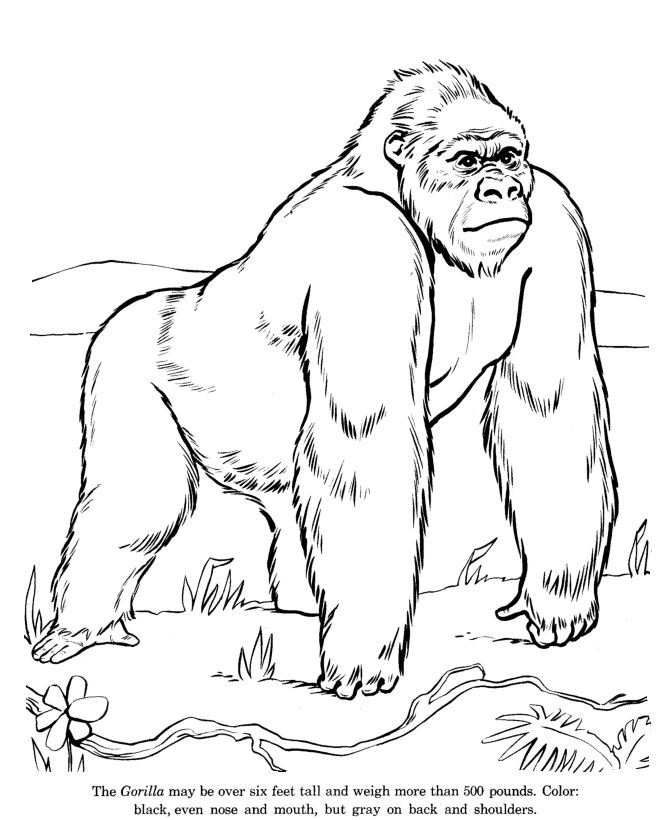 Wild Gorilla Drawing And Coloring Page