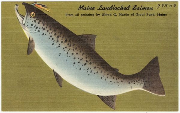 Maine landlocked salmon maine postcards pinterest for Maine salmon fishing