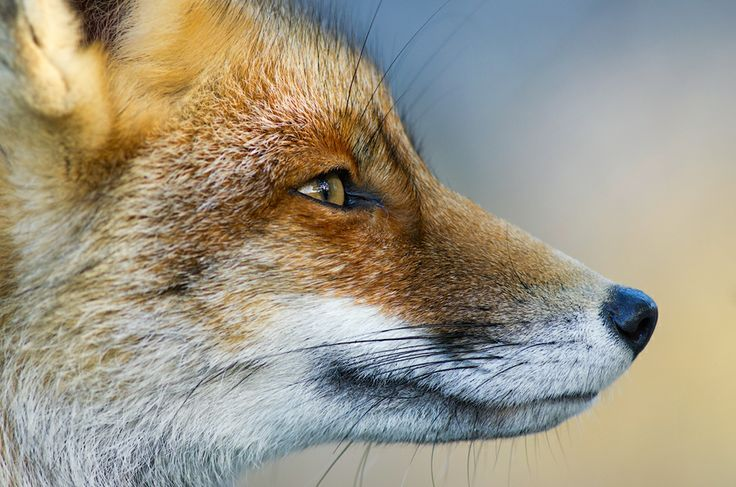 red fox face and - photo #38