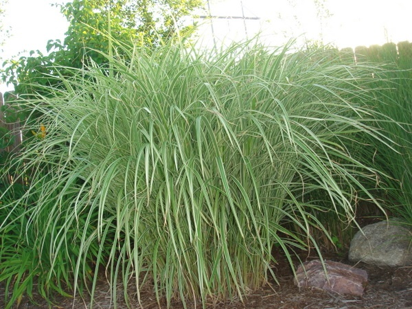 Pin by paige calla on garden and yard pinterest for Japanese grass
