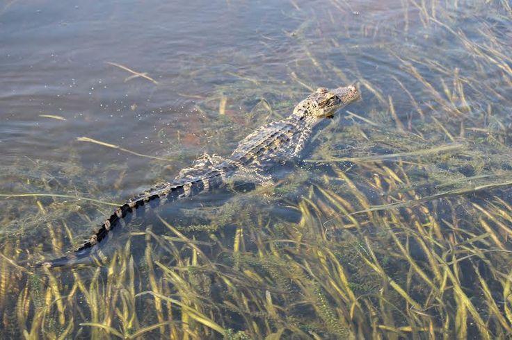 Aligator - Boggy Creek Florida