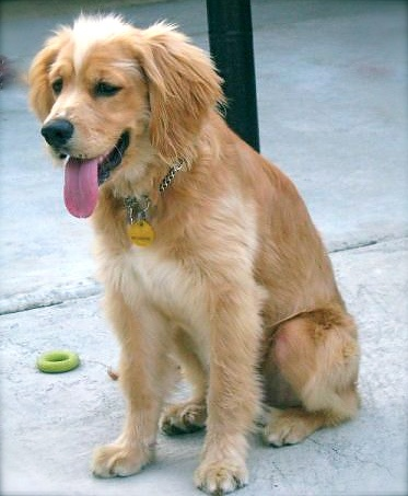 golden retriever spaniel mix, my new second favorite dog breed. Name ...