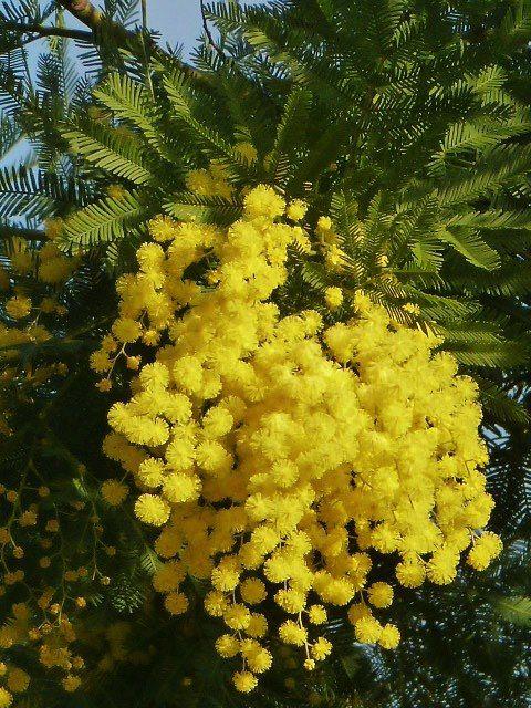 Mimosa | flores flores | Pinterest