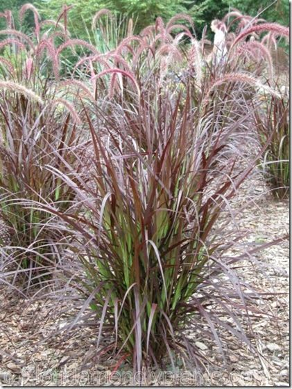 Pinterest discover and save creative ideas for Common ornamental grasses