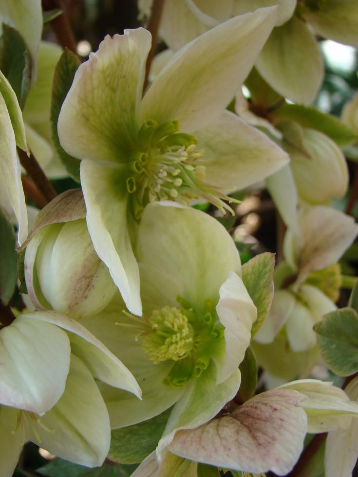 "Helleborus ""Ivory Prince"" aka Lenten Rose...meant to celebrate the ..."