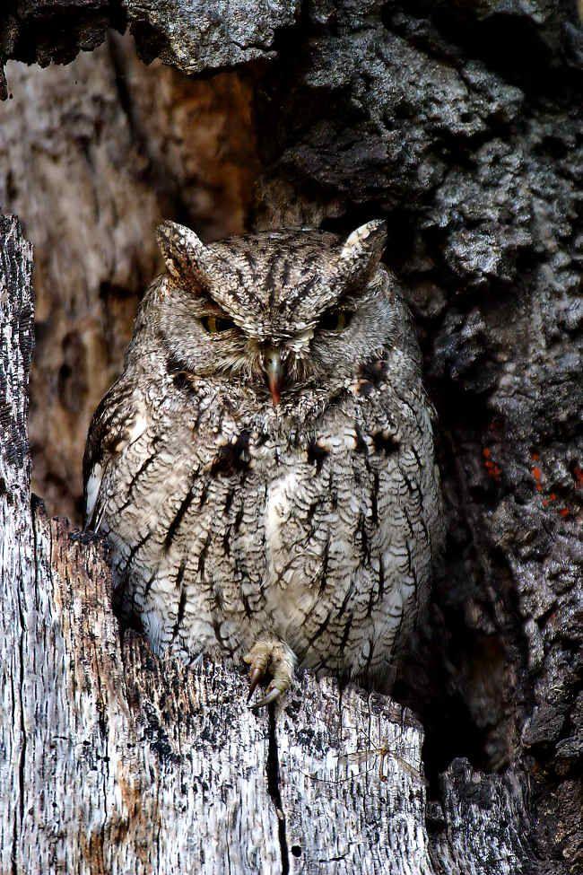 western screech owl | Birds | Pinterest