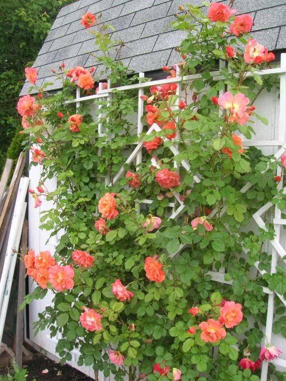 westerland rose how does my garden grow pinterest. Black Bedroom Furniture Sets. Home Design Ideas