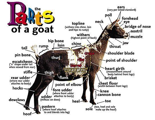 goat anatomy   I take a deep breath...& I step outside   Pinterest