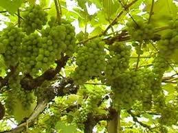 024 – La variedad de uva Moscato se utiliza para...  (A) = Vino para postres  (B) = Vino fortificado  (C) = Vino reserva