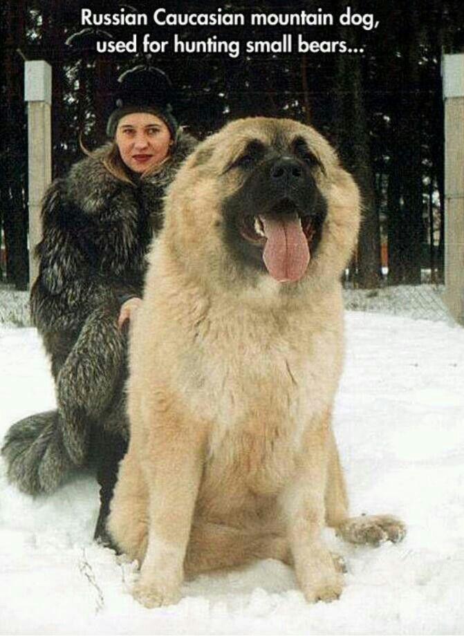 Russian mountain dog    Giant Russian Bear Dog
