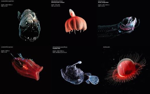 Exotic Creatures   Mariana Trench   Pinterest