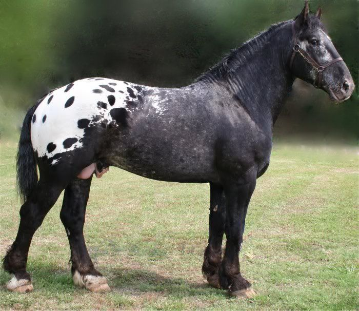 A Sugarbush Draft Horse, an American draft breed developed in the 1950s from crossing Appaloosas and draft breeds.