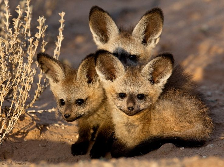 Bat eared fox - photo#25