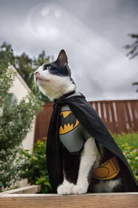 #batman #cat