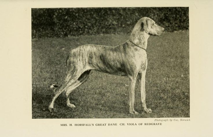 Great Dane | EXTINCT DOG BREEDS-Old Photos | Pinterest