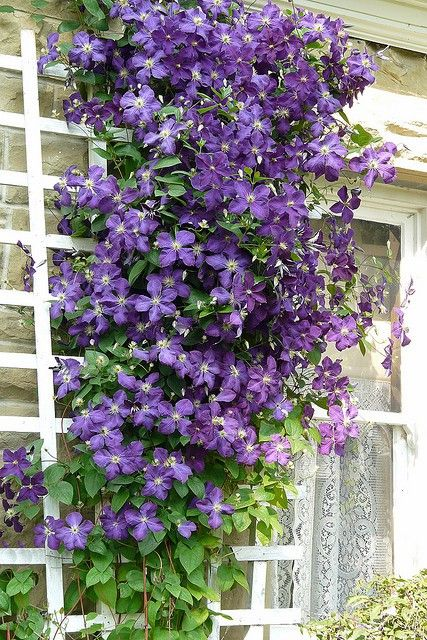 """Clematis"" - my neighbor had these growing about her fence, the large dark purple flowers are stunning."