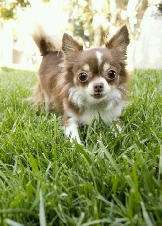 I Am Just Too Cute Chihuahua Pinterest