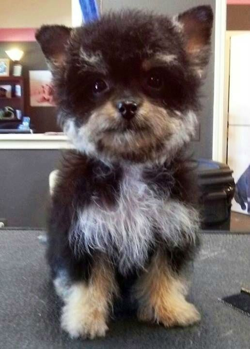 YorkiPoo – Yorkshire Terrier Poodle Mix | Doggone Poodle ...