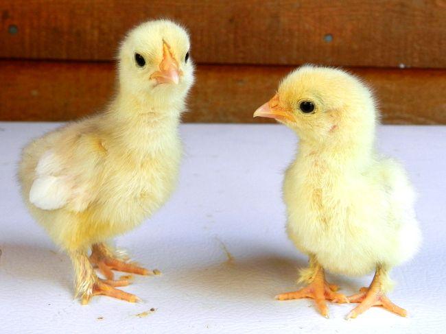 Yellow Birch Hobby Farm: Baby Chicks: White Cochin bantam ...