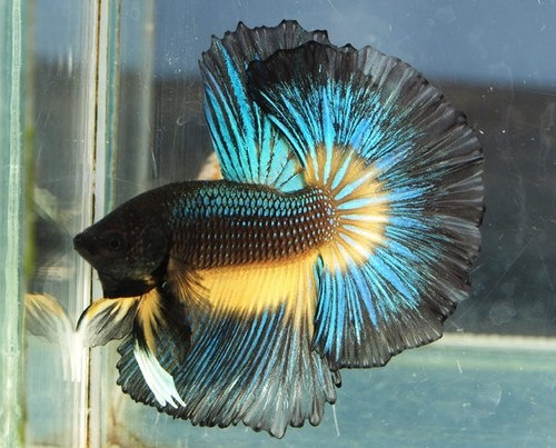 Half moon betta for What is the lifespan of a betta fish