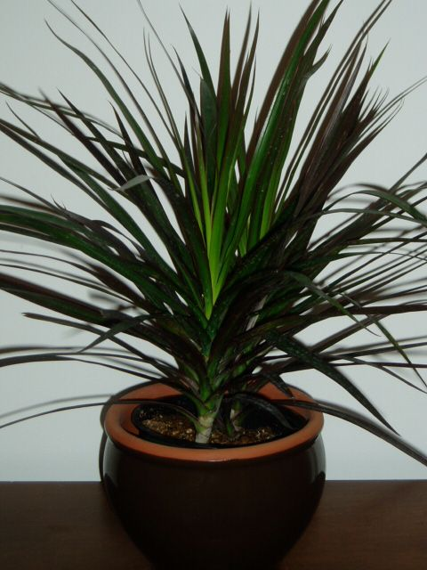 dracaena marginata decorating with plants pinterest. Black Bedroom Furniture Sets. Home Design Ideas