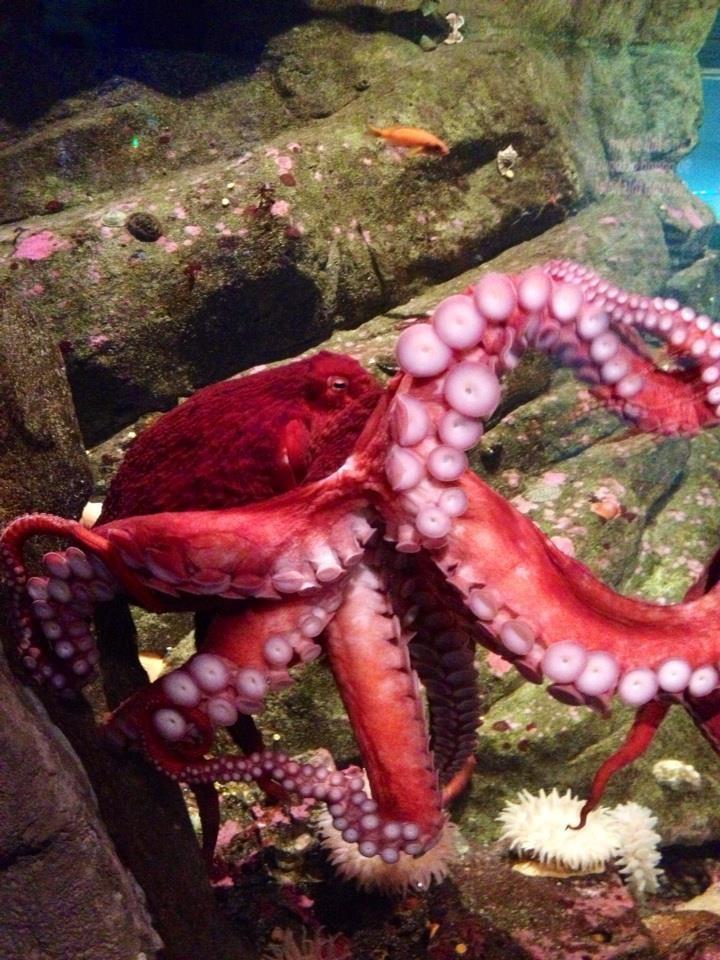 Seattle Aquarium Octopus The Great Escapist Pinterest
