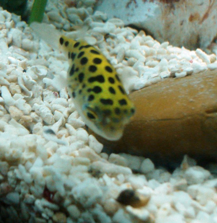 The Green Spotted Puffer Fish: Care, Feeding and Tank Setup