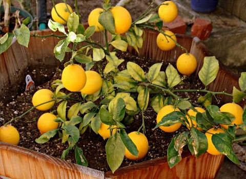 Meyer Lemons | B&B | Pinterest