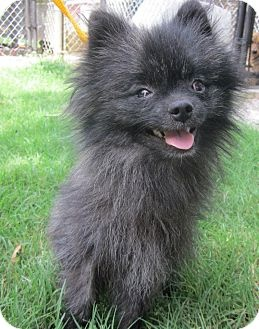 WESTPORT CONNECTICUT ~~ I am already neutered, purebred, a SPEC VISUAL NEEDs pet, up to date with shots, good with kids, good with dogs, and good with cats ~~  Denver is a pocket-sized prince who loves everyone. Children, adults, dogs, cats - - they're all friends to Denver!! Denver is a purebred Pomeranian whom we guess is about 1 - 2 years old, he weighs about 5 pounds and he's full of life and spunk, despite his challenge: impaired vision. The vet says he can see light and shadows
