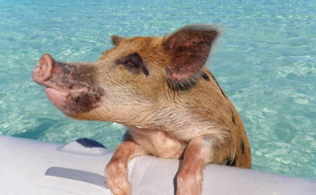 More like this: the bahamas , pigs and swimming pigs .