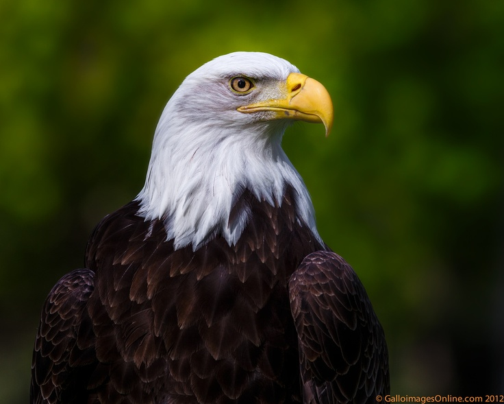 Bald Eagle Soars in Remembrance of 911