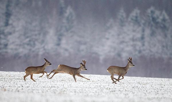 Roe deer run in a field after heavy snowfall near the village of Skarodnoe, Belarus, March 27.    Vasily Fedosenko/Reuters