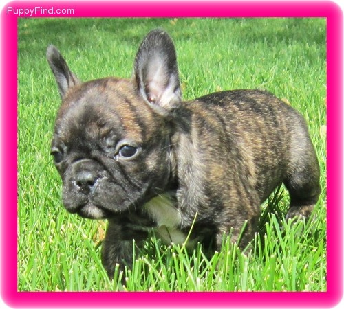 Frenchton puppy! Isn't she just adorable!!